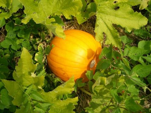 Pumpkin Seed to Pumpkin