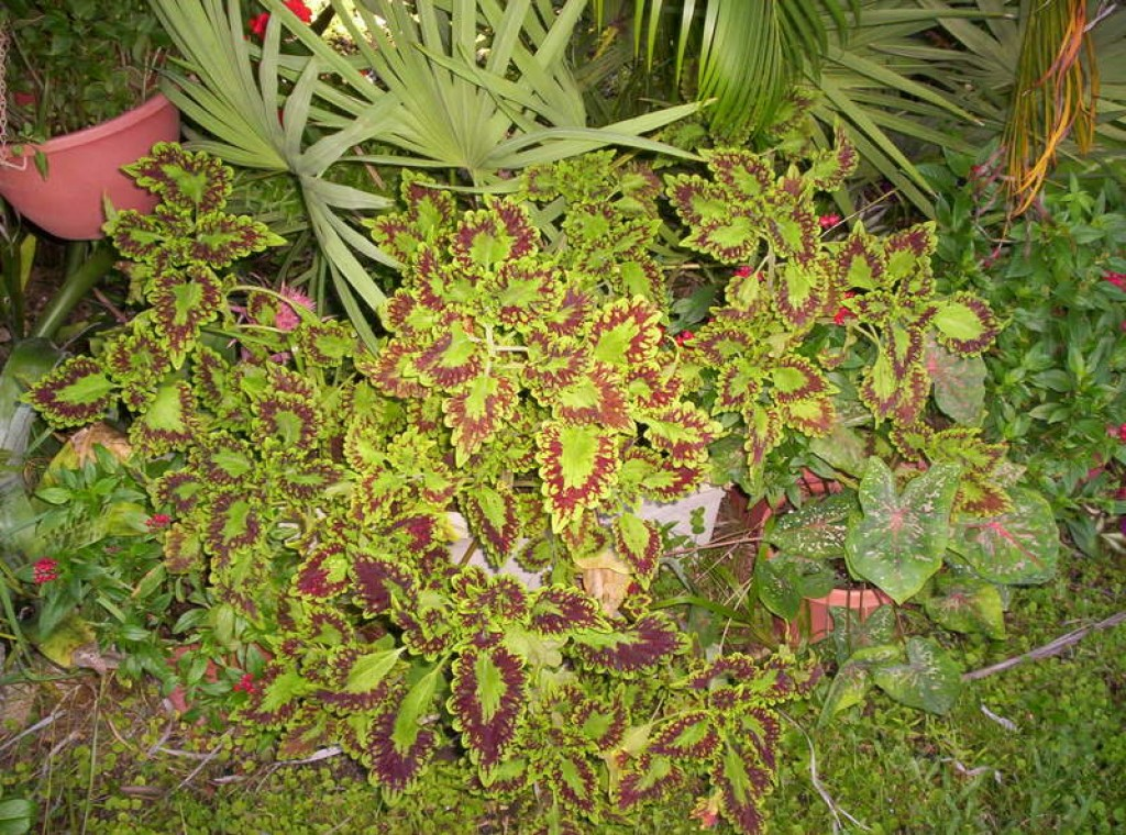 Coleus a shade loving colorful and easy to grow plant for Small easy to grow plants