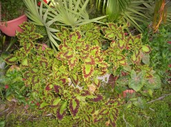 Coleus: A Shade Loving, Colorful, And Easy To Grow Plant. Instructions On How To Propagate Coleus