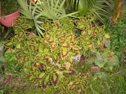 These Coleus love to be under the tree in the shade.