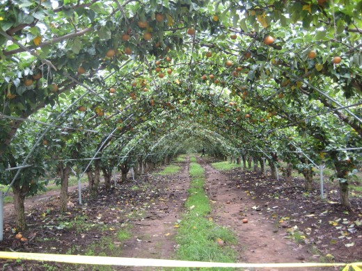 captivating pear orchards!