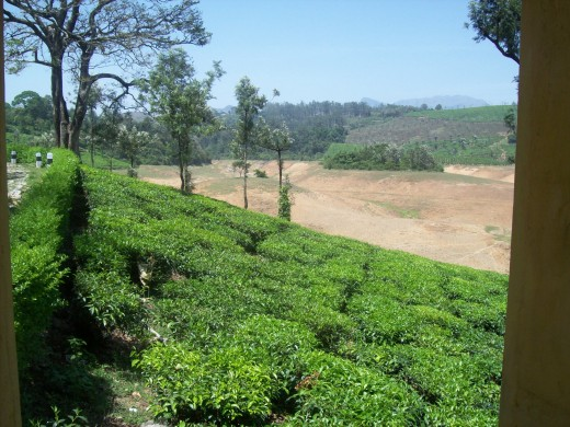 Tea Estate in Valpara