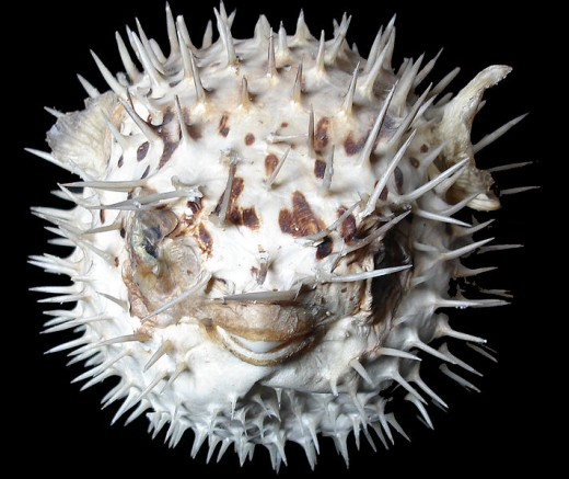 Dinner...to impress...Puffer fish...