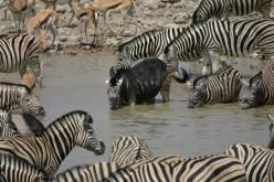 Rare Colored Zebras