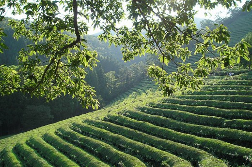 Fields of green tea plants. Pretty to look at as well as beneficial for health!