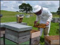 """Gathering """"Manuka honey"""" from hives."""