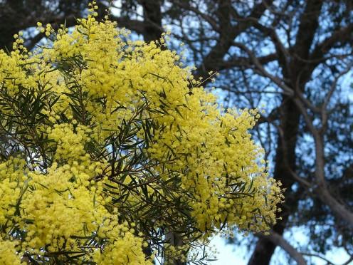 Golden Raintree - Source: Tatina Gerus, Creative Commons via Wikimedia Commons