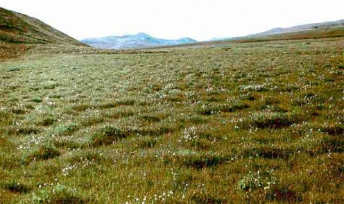 Some tundra plants grow in tussocks.