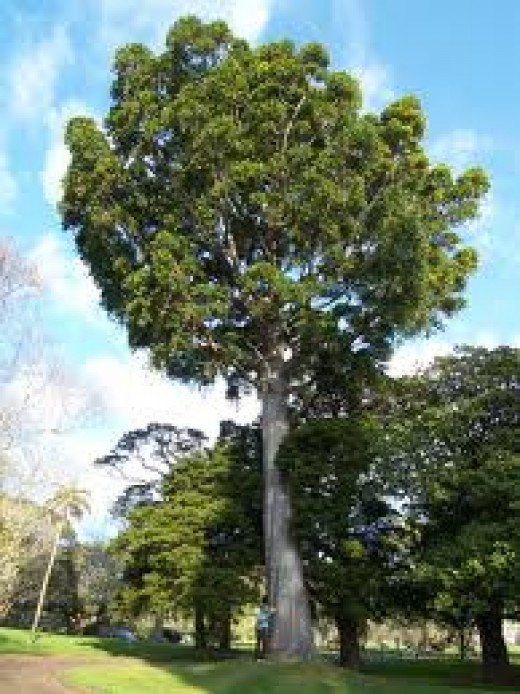 The massive kauri pine from New Zealand.
