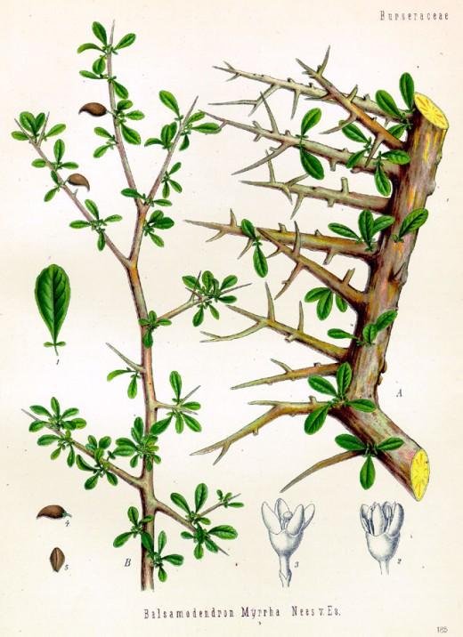 Commiphora myrrha tree.