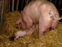 16th October the Pig and Apple festival at Champagnac la Riviere