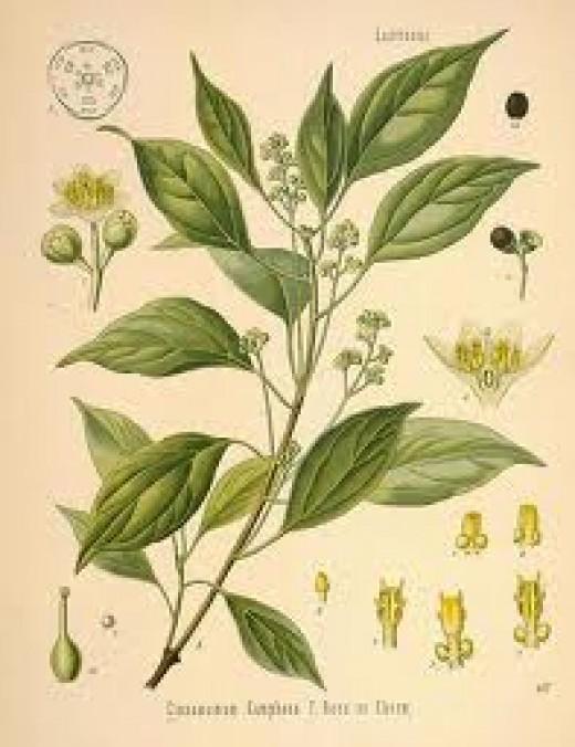 Cinnamonum camphora