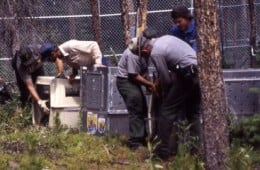 Grey wolf reintroduction in Yellowstone National Park 1996