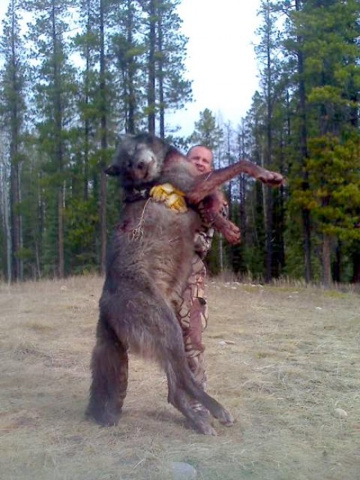 Grey wolf killed for killing livestock in Canada in June 2009.