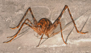 Interesting fact, spider crickets will sometimes eat their own antenna and appendages when faced with starvation.
