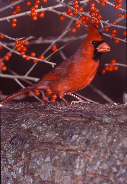 Our cardinals love black oil sunflower seeds.