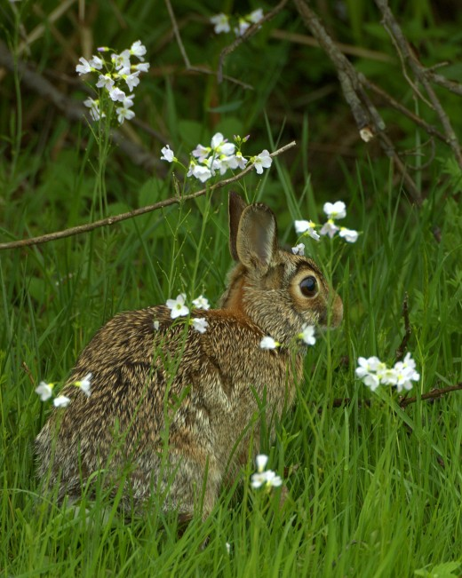 southern cottontail