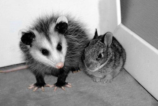 opossum and rabbit