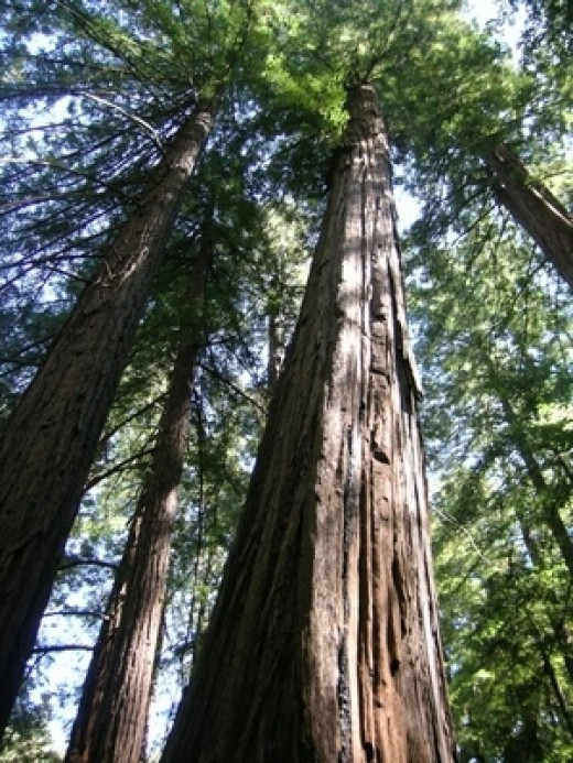 Redwoods, the largest plants on earth actually have more in common with your flowerbed than palm trees!