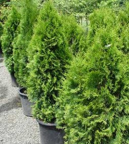 Types of Plant: Conifers