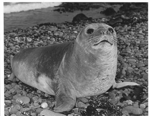 Taken on one of MacQuarie Island's shingly beaches in 1977.