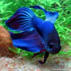 The Wonderful World of Bettas - Raising fighting fish for fun and profit