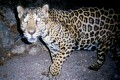 The Jaguar - America's Big Cat
