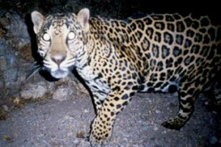 The Jaguar - America's Big Cat.
