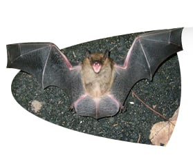 YES, CUTE AND SWEET BATS CAN RUN YOU OFF FROM A LOVELY CAVE EXPLORATION. THEY CAN ATTACK WITH THEIR SHARP TEETH. AND HAVE BEEN KNOWN TO ATTACK CATTLE.