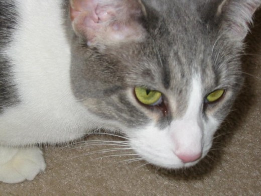 "Our tabby mix cat, named Misty. Notice the ""M"" on her forehead? That's a typical tabby marking."