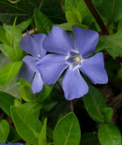 Plant Native Herbaceous Plants Instead of Invasive Species: A List of Both