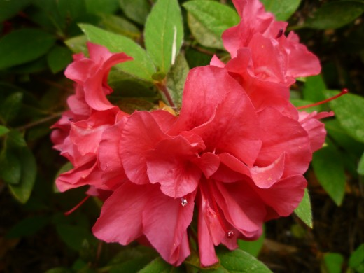 One of our encore azaleas that bloom several times throughout the year.