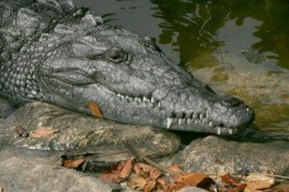 The American Crocodile, another endangered animal in the Everglades.