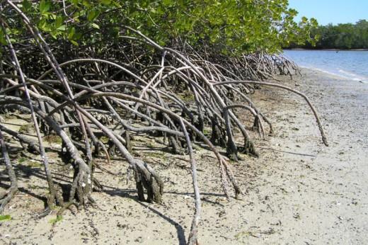 Mangrove trees along the Florida coastline in the Everglades.