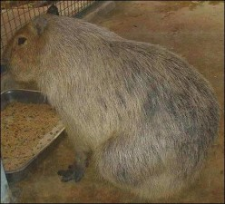World's Largest Rodent! The Largest Rat In The World!