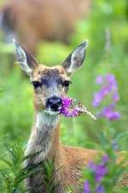 One deer eating flowers is nice.