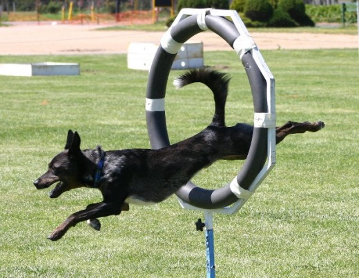 Australian Koolie Performing in Agility
