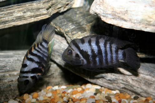 A pair of black convict cichlids.