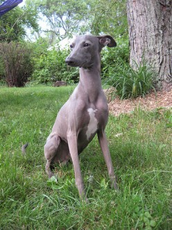 What You Need to Know Before Adding an Italian Greyhound to Your Family