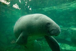 Things To Do In Florida: Homosassa Springs And Manatee Springs, A Manatee And Wildlife Adventure!