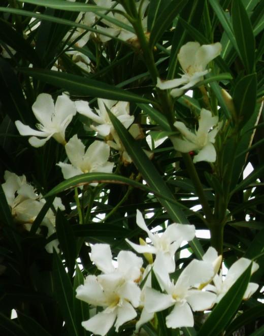 White oleander bush