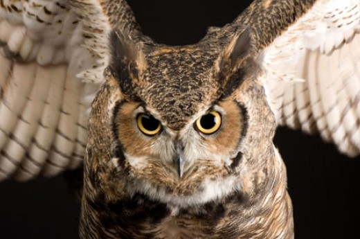 Great Horned owls eat their prey whole. Keep your pet guinea pigs and rabbits indoors, if possible.