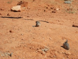 "Two of the little ""Antelope Ground Squirrel's"" that live in the park."