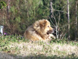 Boomer, the Lion! I couldn't leave him behind! Considering he is 'just' a mix, he is stunning!