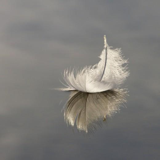 """Swan Feather on Hatchet Pond"""
