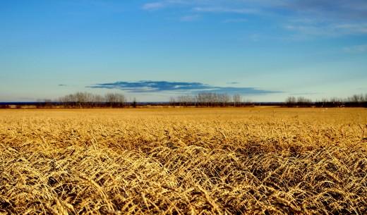 Autumn Wheat Field