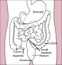 Human Gastrointestinal Tract