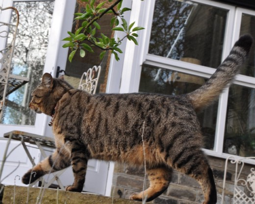Minnie the tabby cat in the garden