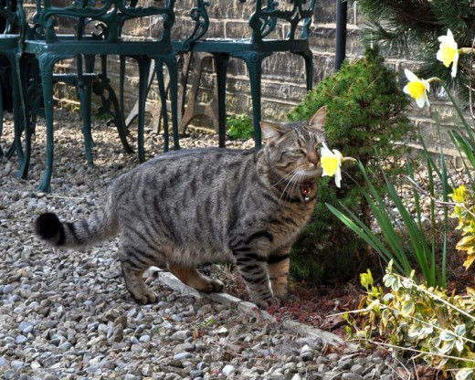 Minnie the tabby cat stops to smell the flowers