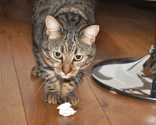 Minnie the minx the tabby cat loves to play with balls of paper.